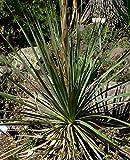 10 Seeds Dasylirion durangense Durango Sotol Ornamental Plant
