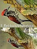 Wild Sri Lanka. II. Red-backed flameback