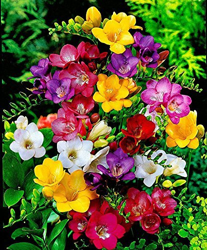 Mix Freesia Bulbs (2 Bulbs) Marvelous Charming Flowers Potted Home Garden Balcony Decoration Bonsai