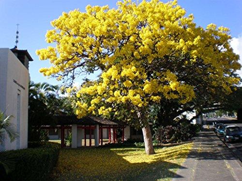 (Live Yellow Tabebuia Trees (1 Gallon), Flowering Trees)