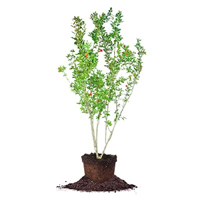 Perfect Plants Wonderful Pomegranate Live Plant, 2 Gallon, Includes Care Guide : Garden & Outdoor