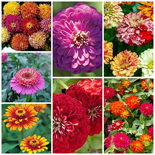 Orange Zinnia Flower (Majestic Mixed Zinnia Seeds (7 Types) 100 Seeds)