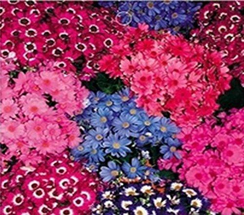 30pcs/bag Cineraria Seeds Mixed Color Cineraria Flowers Seeds Mixed Colors Purple (Stamen Assortment)