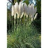 TROPICA - American Pampas Grass (Cortaderia selloana `Silber`) - 200 Seeds - Grasses / Bamboo