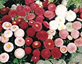 English Daisy Flower Mix Seeds Marguerite Chrysanthemum Around 200 Seeds