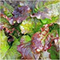 Package of 400 Seeds, Prizehead Lettuce (Lactuca sativa) Non-GMO Seeds By Seed Needs