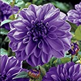 Blue Boy Semi-Dinnerplate Dahlia - 2 Bulb Clumps - #1 Size