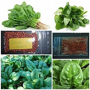 Griego espinacas ~ 75+ + parte superior calidad de las semillas–resistente al frío.