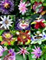 15 Seeds Flowering Passiflora Mix Passion Fruit Exotic Edible Tropical Vine Seed