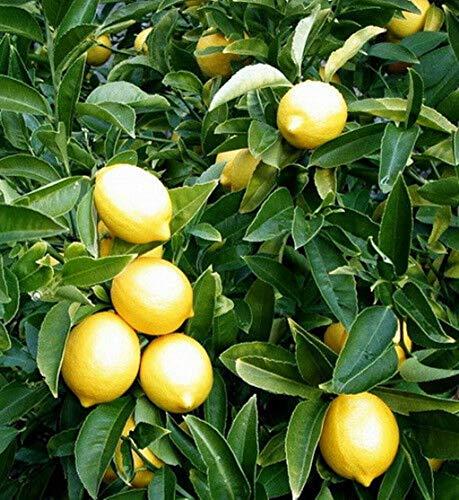 Meyer Dwarf Lemon Tree (2 Trees) Make Your Own Lemonade Full Size Fruit M4 by owzoneplant (Image #1)