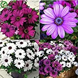 Seeds Shopp - African Blue Eyed Daisy Seeds Osteospermum seeds Cape Mix Flower Heirloom 30PCS New Arrival !