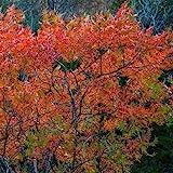 Flameleaf Sumac Tree Seeds (Schmaltzia copallinum) 40+Seeds (40 Seeds)