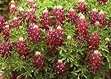 25 ALAMO FIRE MAROON TEXAS BLUEBONNET LUPINE Lupinus Texensis Flower Seeds