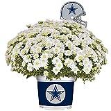 Sporticulture Dallas Cowboys Color Team Mum, 3 Quart, White