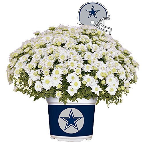 Sporticulture Dallas Cowboys Color Team Mum, 3 Quart, White by Sporticulture (Image #3)