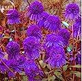 New Echinacea Purple 'Ladies' Perennial Flower 30+ Seeds
