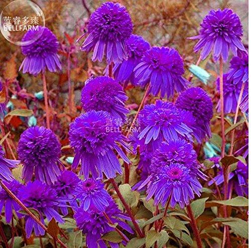 New Echinacea Purple 'Ladies' Perennial Flower 30+ (Echinacea Seeds)