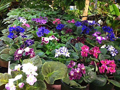 african-violets-collector-series-4-potted-live-indoor-plant-w-wick-system