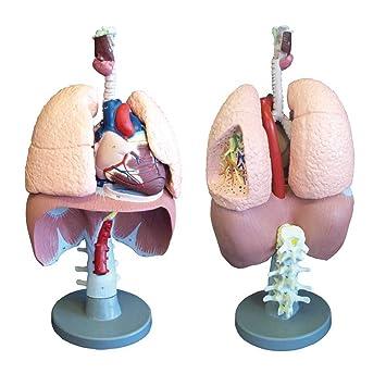 Modell Atmungsorgane, Anatomie Modell Lunge Herz Kehlkopf ...