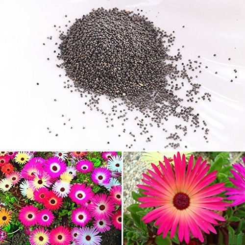 Rosepoem Semillas 4000pcs de la margarita de Livingstone Mix Varios tonos de rojo / rosa / blanco / amarillo / semillas de flores púrpura