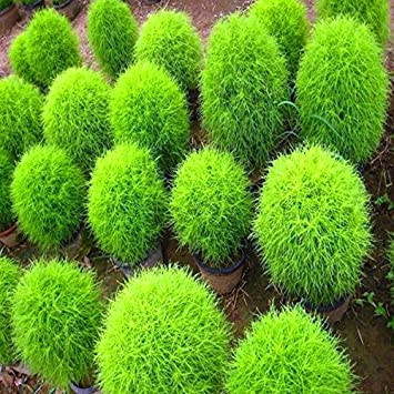 Gate Garden Kochia Bush Flower Desi Seeds Summer Variety Special for Home and Balcony Gardening (Green)
