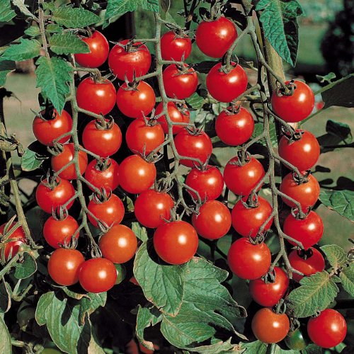 Cherry Planter (0.3g (Approx.100) Cherry Tomato Seeds