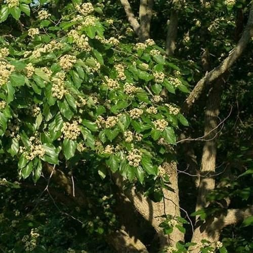 15 Seeds, Japanese Raisin Tree Seeds