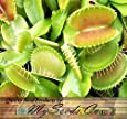 10 x VENUS FLY TRAP Seeds - CARNIVOROUS Dionaea Muscipula Flower Seeds - By MySeeds.Co