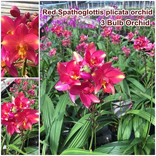 red spathoglottis plicata Orchid 3 Bulb Beautiful red Flower Ground Orchid - Orchid Ground