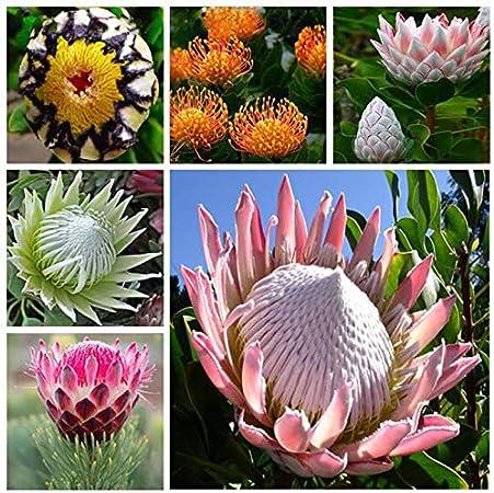Sch/öne Edelweiss Samen 20 teile//beutel Leontopodium Alpinum Blume Bonsai Samen Bonsai PflanzenSehr Einfache pflanze Blumensamen Mehrj/ährige Rot
