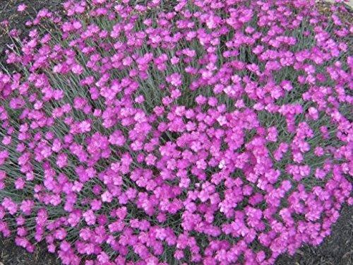 Dianthus Gratianopolitanus, Cheddar Pinks, (3 Plants)