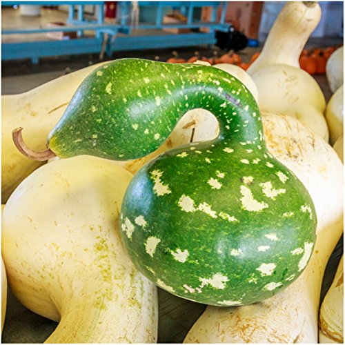 Package of 45 Seeds, Speckled Swan Gourd (Lagenaria siceraria) Non-GMO Seeds by Seed Needs - Gourd Speckled