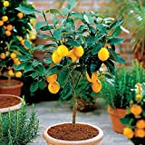 Hot Selling!!! 50 Seeds Dwarf Lemon Tree Seeds---Natural Perfume Indoor, DIY Home Garden Bonsai, fragrant