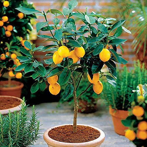(Hot Selling!!! 50 Seeds Dwarf Lemon Tree Seeds---Natural Perfume Indoor, DIY Home Garden Bonsai, fragrant )