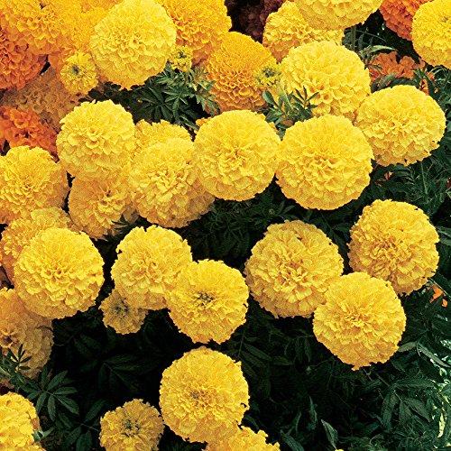 (Burpee Primrose Lady Hybrid Marigold Seeds 50 seeds)