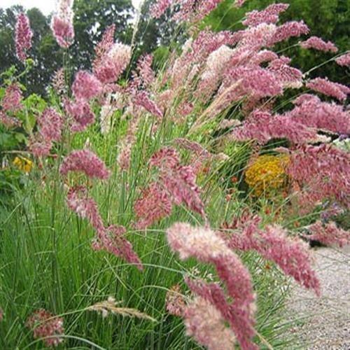 Ruby Grass - Fresh 100 seeds - Ruby Grass Ornamental Grass Seeds