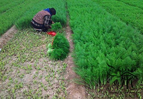 Semillas de hierbas perennes Foeniculum vulgare para la siembra, 1200pcs mini jardín aromático Vegetable Seeds, Semillas de hinojo verde Finocchio: Amazon.es: Jardín