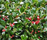 Dwarf Burford Holly Shrub - Live Plant - Trade Gallon Pot