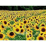 Shopmeeko 10 Pcs A Bag New Arrival!Sunflower Plantas, Non-GMO Bonsai Plant DIY Home Garden Flower Plants
