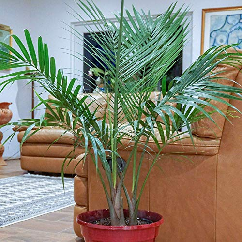United Nursery Majesty Palm Tree, Live Indoor and Outdoor Plant. 36'' Shipping Size. Shipped Fresh in Grower Pot from Our Florida Farm by United Nursery (Image #2)