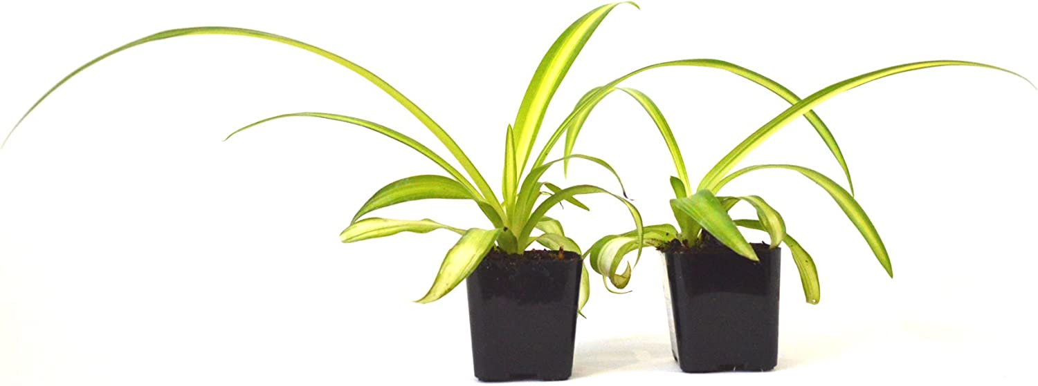 9GreenBox - Ocean Spider Plant - Easy to Grow - Cleans The Air - 2 Pack Live Plant Ornament Decor for Home, Kitchen, Office, Table, Desk - Attracts Zen, Luck, Good Fortune - Non-GMO, Grown in The USA