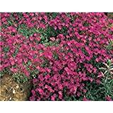 Fiore - Rock Crescione- Aubrieta deltoidea - Royal Rosso - 250 Seme