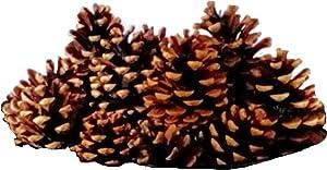 20 pc Austrica Pine Cones Natural Decorative 1.75