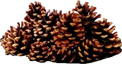 20 Pc Austrica Pine Cones Natural Decorative 1 75 3 5 Summer Fall Winter Holiday Home Decor Farmhouse Vase Bowl Filler Displays Crafts