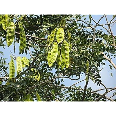 20 Woman's Tongue Tree White Mimosa Nectar Flower Albizia Lebbeck Legume Seeds : Garden & Outdoor