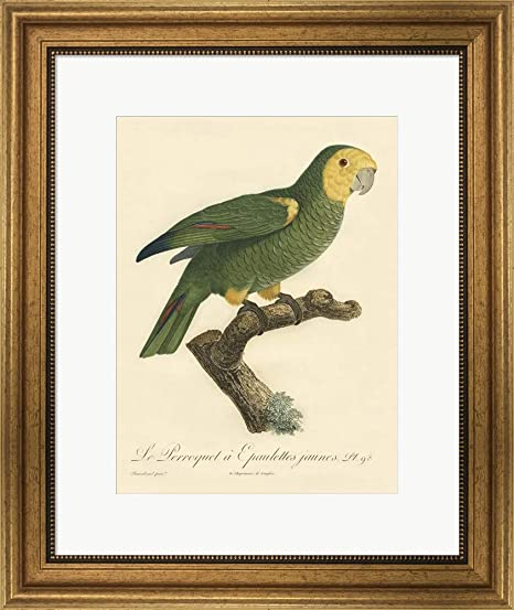 Amazon.com: Parrot, PL 98 by Jacques Barraband Art Print, 11 x 14 inches: Posters & Prints