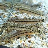 【生体】スジシマドジョウ(15匹)/どじょう 約4cm~5cm前後 生体 川魚