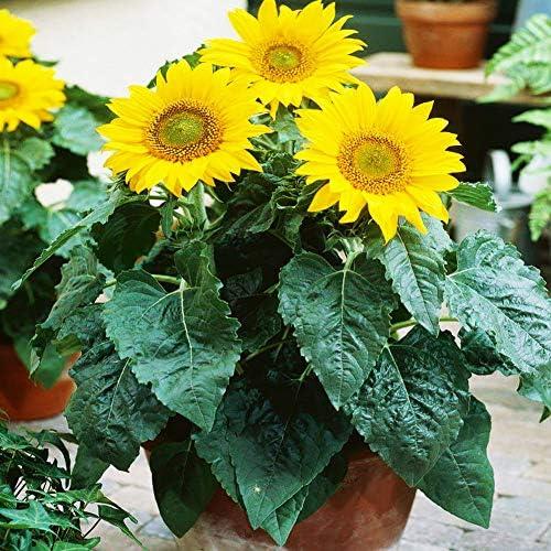 Graines de tournesol nain 20 pièces (Helianthus annuus) Bio Fresh Premium facile à cultiver des graines de plantes pour la plantation de jardin Yard Bonsai