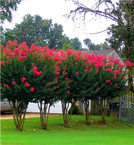 Red Flowering Trees - 6 Pack - Arapaho - Red Flowering Crape Myrtle Trees - Lagerstroemia