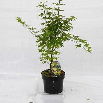 Gold Orange Japanese Maple Acer Palmatum Orange Dream 50 60 Cm In
